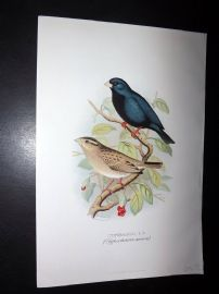 Frohawk & Butler 1899 Antique Bird Print. Combasou